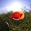 Poppy flower in meadow in morning light — Stock Photo