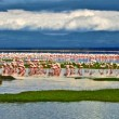 Stock Photo: Pink flamingos at the Lake