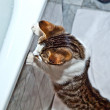 Cat is watching the rising water in the bath tube — Stock Photo