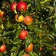 Stock Photo: Ripe apples on a tree branch