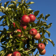 Ripe apples on a tree branch — Stock Photo