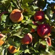 Ripe apples on a tree branch — Stock Photo #5618576
