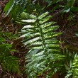 Green fern in forest — Stock Photo #5618582