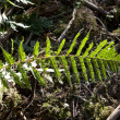Green fern in forest — Stock Photo #5618586