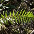 Stock Photo: Green fern in forest