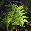 Green fern in forest — Stock Photo #5618588