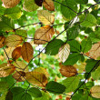 Composition of oak leaves - Foto de Stock  