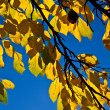 Oak leaves in harmony - Foto Stock