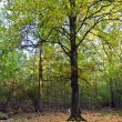 Old oak forest - Foto Stock