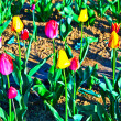 Royalty-Free Stock Photo: Spring field with blooming colorful tulips