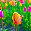 Spring field with blooming colorful tulips - Stok fotoğraf