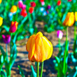Spring field with blooming colorful tulips - Photo