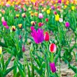 Field with blooming colorful tulips - Foto Stock