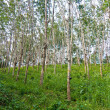Rubber tree plantation in Thailand - Stock Photo