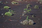 Vegetation in vulcanic area — Stock Photo