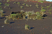 Vegetation in vulcanic area in LanzaroteUnder the volcano — Stock Photo