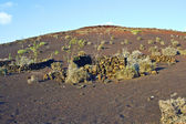 Vegetation in vulcanic area in Lanzarote — Stock Photo