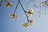 Bloeiende boom in ochtend licht — Stockfoto