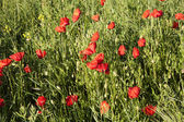 Beautiful blooming poppy flowers — Stock Photo