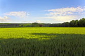 Landscape with acres,corn and white clouds — Stock Photo