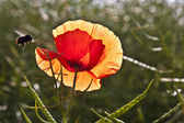 Sabah güneşi çayır çiçek haşhaş — Stok fotoğraf