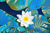 White lotus water lily in lake — Stock Photo