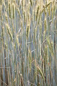 Corn field with spica and structured spear — Stock Photo