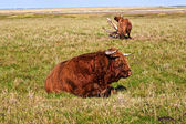 Galloway cattle standing in the meadow — Stock Photo