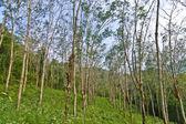 Kauçuk ağacı ekimi tayland — Stok fotoğraf