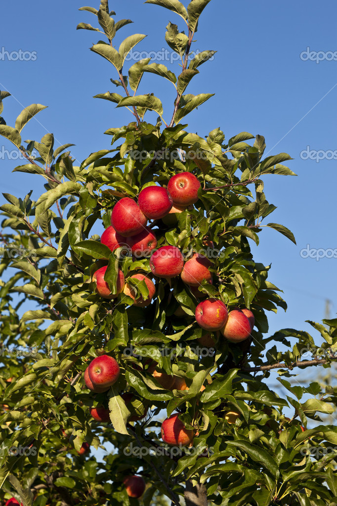 Ripe apples on a tree branch against blue sky — Stock Photo #5618559