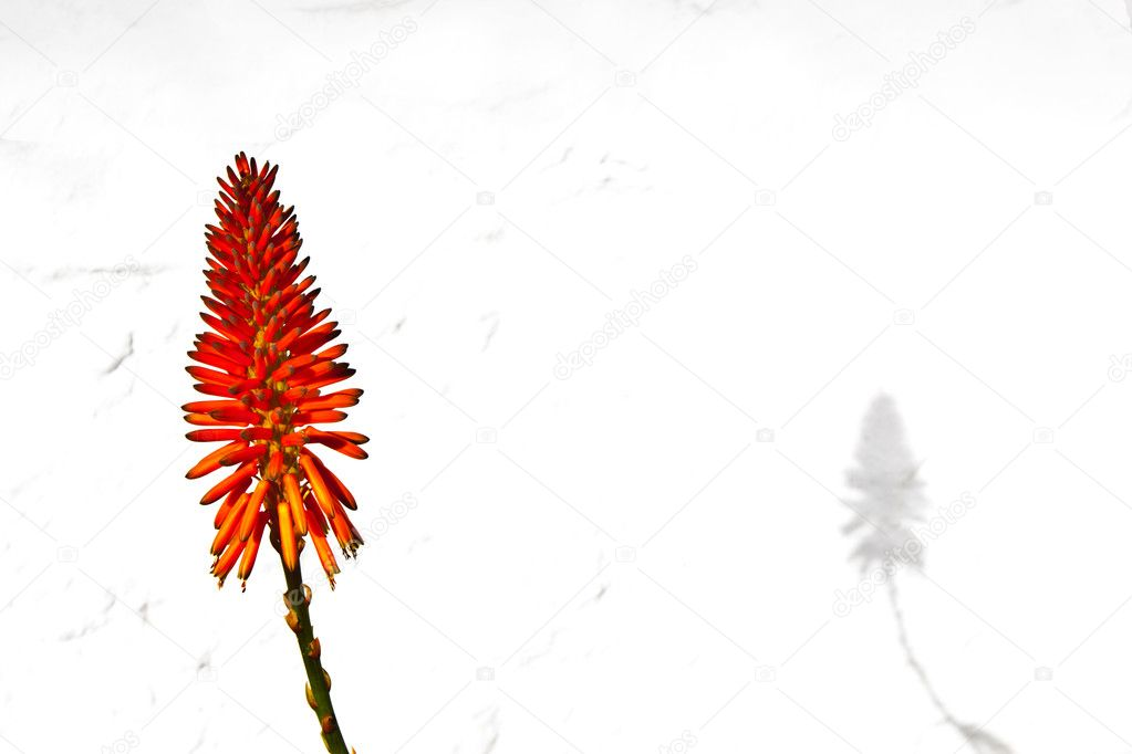 Beautiful Aloe Vera flower with white background — Stock Photo #5619483