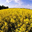 Yellow rape field in spring — Stock Photo #5620029