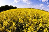 Yellow rape field in spring — Stock Photo