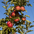 Ripe apples on a tree branch — Stock Photo #5651381