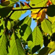 Stock Photo: Oak leaves in harmony