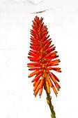 Beautiful Aloe Vera flower — Stock Photo