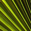 Stock Photo: Beautiful palm leaf texture