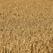 Corn fields with corn ready for harvest — Stock Photo