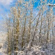 Trees in winter in snow — Stock Photo
