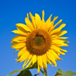 Sunflowers in the field - Stock Photo