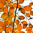 Background group autumn orange leaves. Outdoor — Stock Photo #5668203
