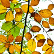 Background group autumn leaves in Indian Summer — Stock Photo #5668215