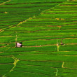Rice fields structured in terracces — Stock Photo