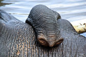 Tusk of indian elefant in the camp — Stock Photo