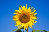Solrosor i fältet — Stockfoto