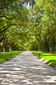 OAK alley in entrance of Plantation — Stock Photo
