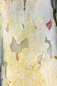 Pattern of plane tree — Stock Photo