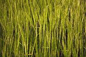 спика кукурузы — Стоковое фото