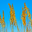 Grass at the beach on dune with blue sky — Stock Photo