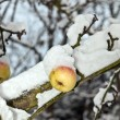 Ripe apples are hanging on a branch — Stock Photo
